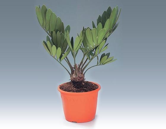 Shri shani dev green nursery welcome to shri shani dev for Planta ornamental zamia